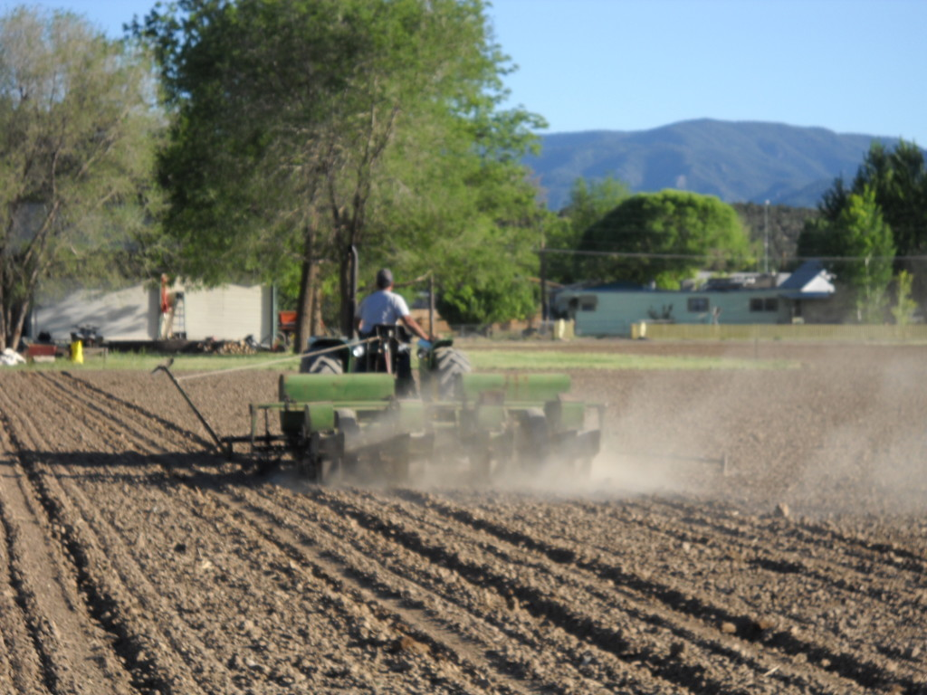 Planting the corn for the maze in June.